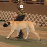 1st show at Tallmadge - 6 mos and doing his best to go his own speed